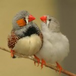 A couple of Zebra Finches on a branch