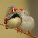 A couple of Zebra Finches on branch