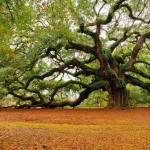 Angel Oak Tree l