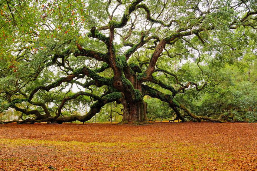 Easy Like The Angel Oak Tree