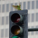 Birds Traffic Light