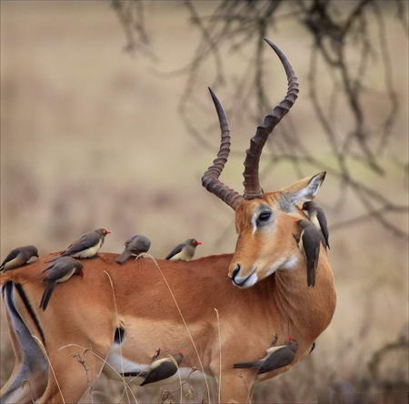 Birds Washing Antelope
