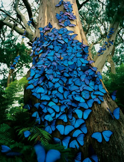My Blue Butterfly Tree