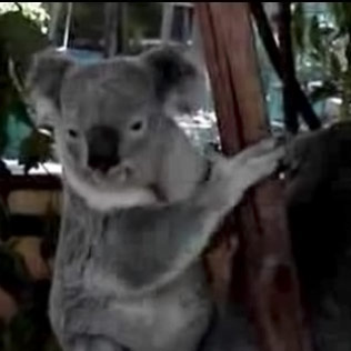 Koala, The Fierce!