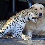 Leopard Golden Retriever dog friendship