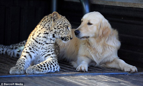 Leopard Golden Retriever friendship