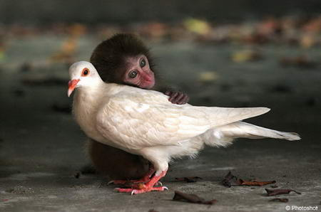 Little Monkey and white dove friends
