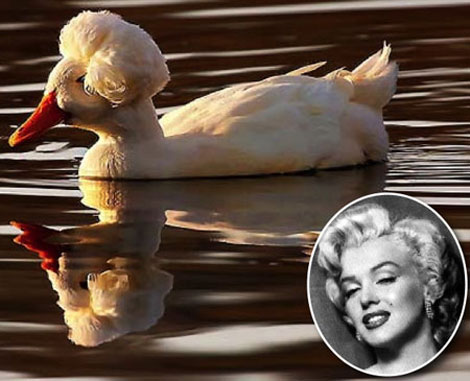 Marilyn Monroe haircut duck