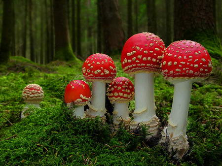 Red Mushrooms Amanita Muscaria