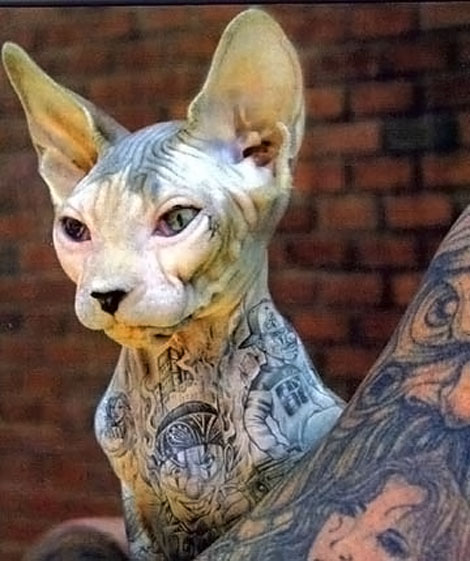 A fur-less cat with tattoos all over. How is that for extreme tattoos?