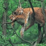 Two Wild Cats in a Tree