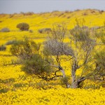 Yellow wildflowers National Simpson Park Australia Jason Edwards large